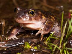 Image of Eastern spadefoot.