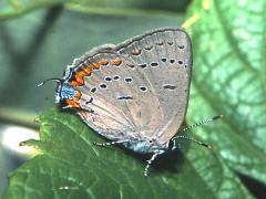 Image of Acadian hairstreak.