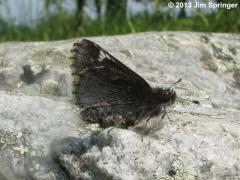 Image of Common roadside skipper.