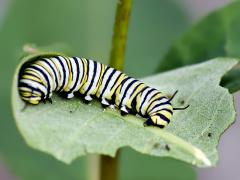 Image of A monarch larva.