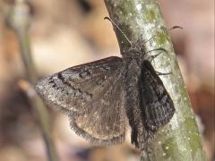 Image of Sleepy duskywing.
