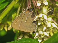 Image of Northern oak hairstreak.