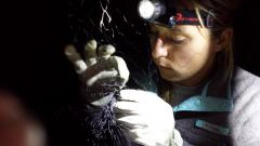 Image of Stephanie Feigin carefully removes big brown bat from mist net (c) MacKenzie Hall