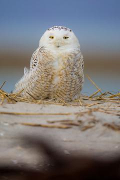Image of The irruption of snowy owls along the New Jersey shore in during the last two winters has been an amazing opportunity to see such a rare species. Albeit many have put their own self interests before that of the birds.