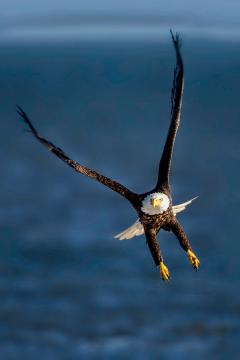 Image of Bald eagles are becoming a much more common sight in New Jersey, especially along the Atlantic coast.