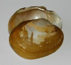 Image of Yellow lampmussel shell.