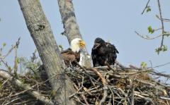 Image of 5/14/15: C/94 DF banded bird with chick in CT nest.