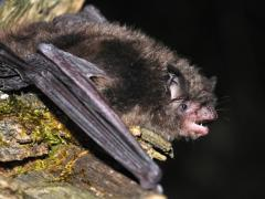 Image of Indiana bat.