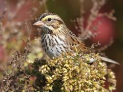 Image of A Savannah sparrow.