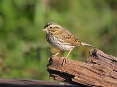 Image of Savannah sparrow.