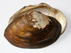 Image of Tidewater mucket shell.