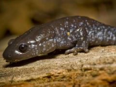Image of Blue-spotted salamander.