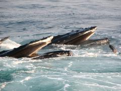 Image of Humpback whales feeding.