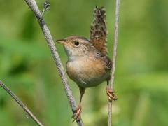 Image of Sedge Wren.