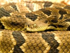 Image of Timber rattlesnakes and other venomous snakes have a vertical pupils.