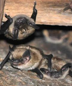 Image of Big brown bats in an attic space.