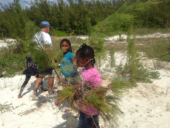 Image of Shorebird Sister School Network Students from Amy Roberts Primary School removing invasive Australian Pine (Casuarina) on Gillam Flats, Green Turtle Cay, Abaco, The Bahamas.