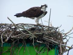 Image of Ospreys like to nest near water and often nest on channel markers.