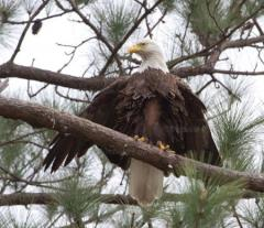 Image of eagle with brood patch@ CCB eagle nest blog@Shelly Fowler
