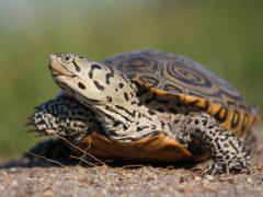 Image of An adult female terrapin.