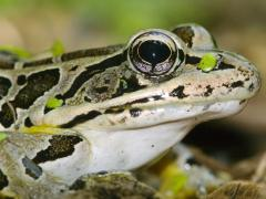 Image of A Pickerel frog.