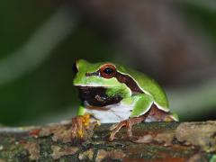 Image of A Pine Barrens treefrog.