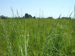 Image of A field that has been seeded with native warm-season grasses provides both food and cover to wildlife.
