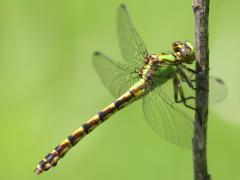 Image of A brook snaketail dragonfly.