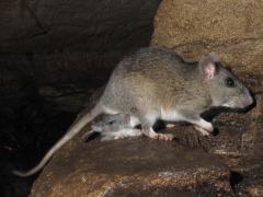 Image of An adult Allegheny woodrat and its young.