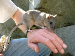 Image of An Allegheny woodrat is released after being live-trapped at a NJ Palisades study site.