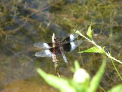 Image of Widow skimmer.