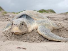 Image of A Kemp's Ridley sea turtle on a beach in the Gulf of Mexico.