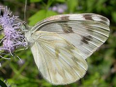 Image of Checkered white butterfly.