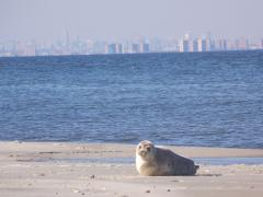 Image of Harp seal.