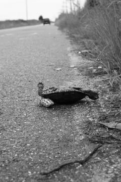 Image of A female terrapin that was killed by a motor vehicle along Great Bay Boulevard in New Jersey.