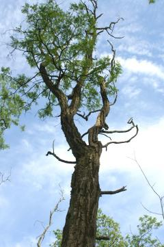 Image of The loose bark of this aging locust tree provides roosting habitat for Indiana bats.