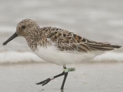 "Image of Sanderlings (Calidris alba) are a small shorebird that is often seen together in large flocks. They have dark legs and bill. Sexes are similiar and they have a ""chunky"" appearance with a well rounded body."