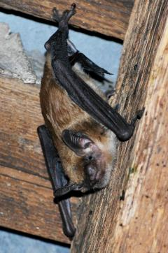 Image of A big brown bat at home in her church roost.