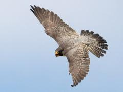 Image of A female peregrine falcon. Photo courtesy of Kim Steininger.