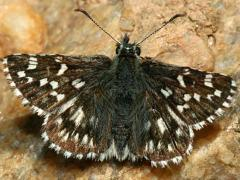 Image of An Appalachian grizzled skipper.