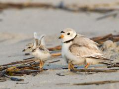 Image of An adult piping plover watches over its young as it stretches its wings. Piping plover chicks fledge, or first fly when they are around 4 weeks old.