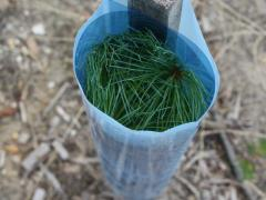Image of A white pine seedling is protected by a tree tube which also helps boost photosynthesis.