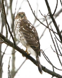 Image of A female Cooper's Hawk.