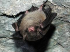 Image of The Indiana bat weighs only a little more than a quarter and are only two inches long.