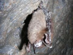 Image of Little brown bat with white-nose syndrome in Greeley Mine, Vermont, March 26, 2009.