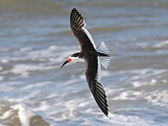 Image of Black skimmer.