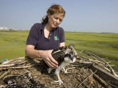 Image of Kathy Clark handles an osprey nestling as she prepares to place a leg band on it for future tracking. She has been instrumental in the recovery of the bald eagle, osprey, and peregrine falcon in the state since the early 1980s.