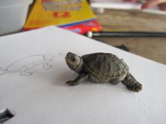 Image of A northern diamondback terrapin hatchling poses for a photo while it is being studied and described in a campers journal entry.