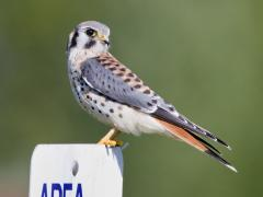 Image of The kestrel is the most common falcon in North America. In New Jersey, habitat loss and fragmentation threaten their survival.
