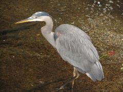 Image of Great blue heron.